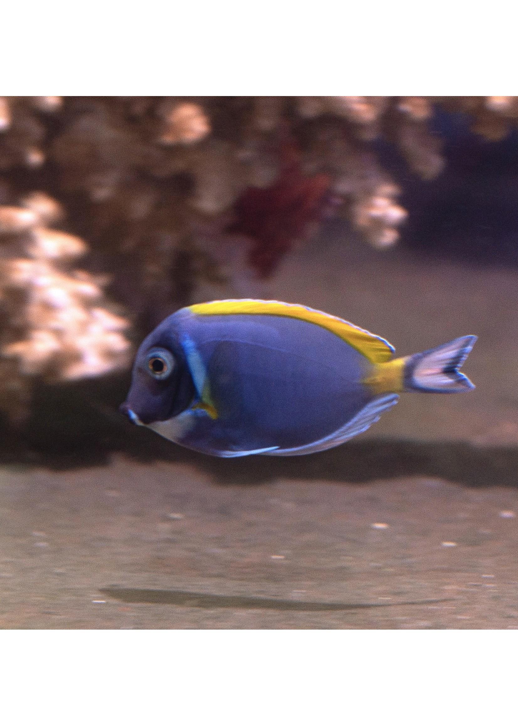 Tangs Powder Blue Tang  (S)