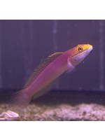 Goby Bella Goby