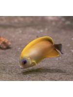 Angelfish Blacktail Lemonpeel Angel Hybrid