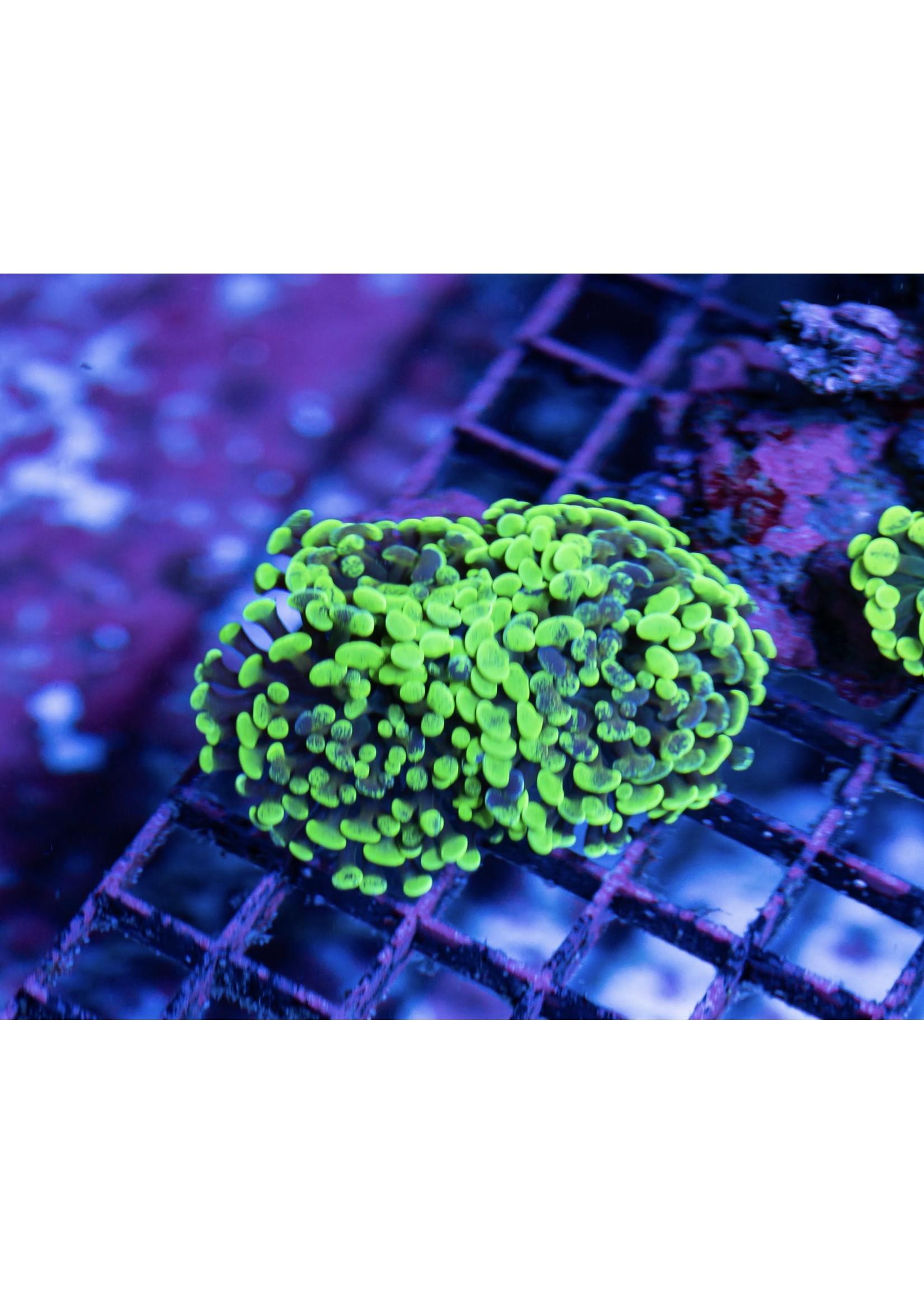 Hammer Indo Neon Splatter Hammer  WYSIWYG