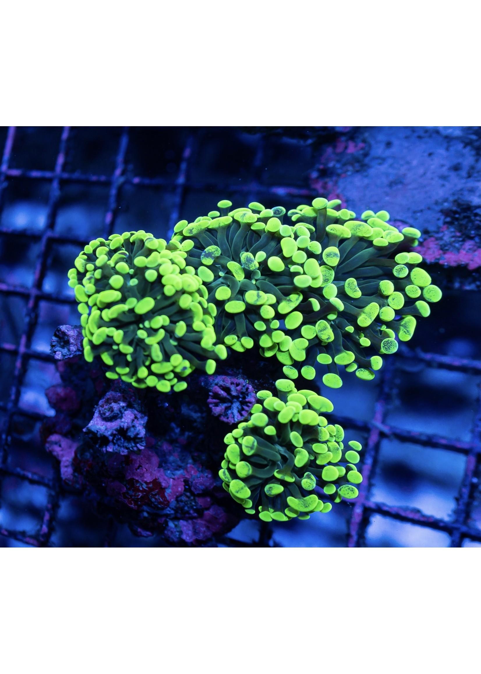 Hammer Indo Neon Splatter Branching Hammer  WYSIWYG