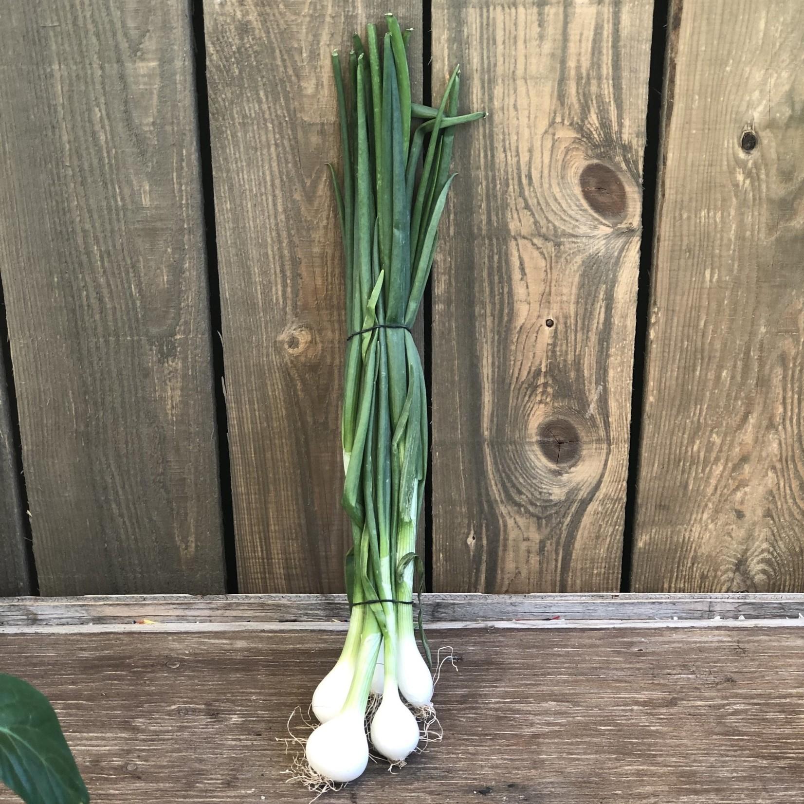 Botte Oignons (jeunes) fraîche, blanc