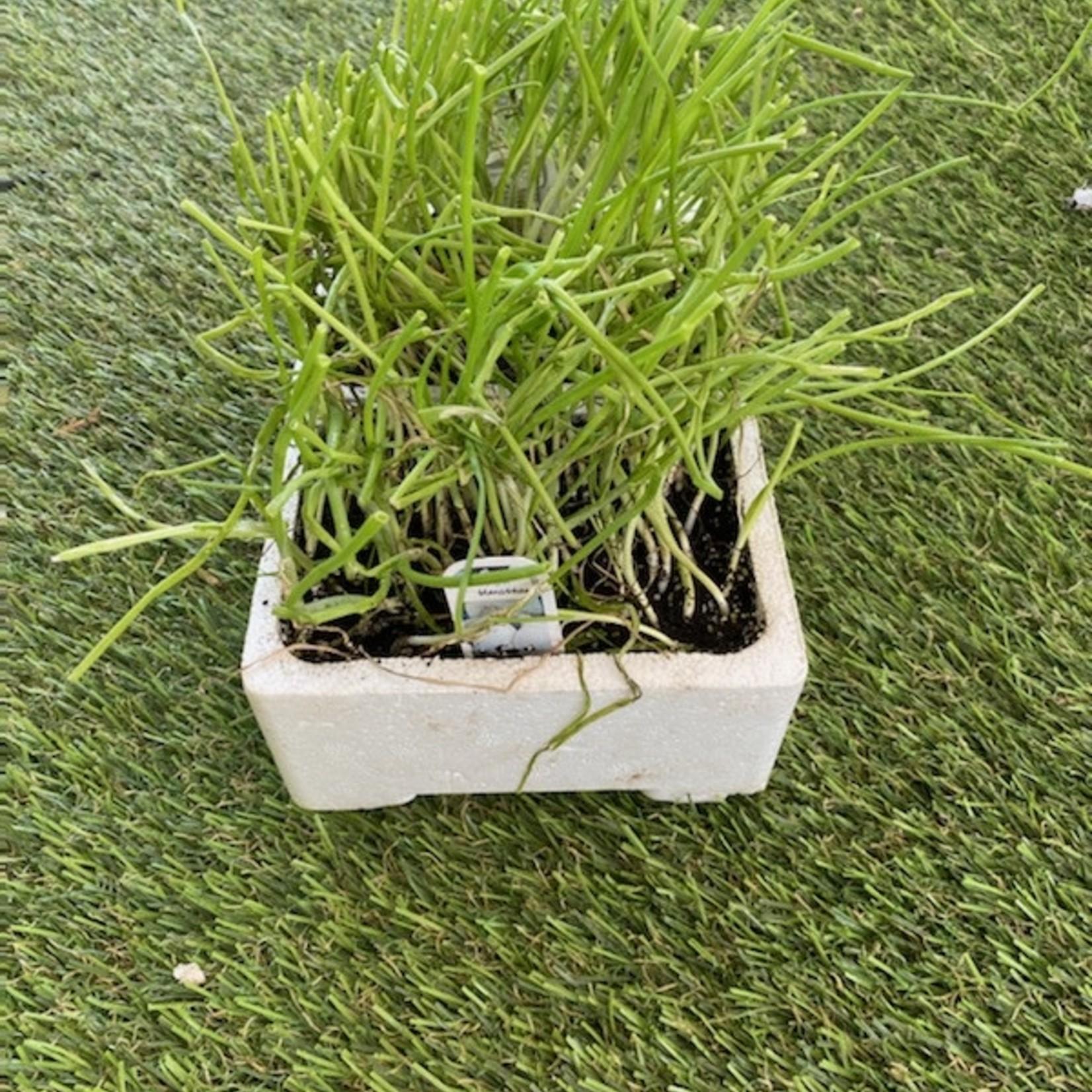 Plants Oignon Espagnol Blanc