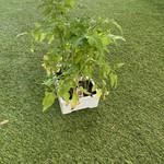 Plant Tomates (boites)