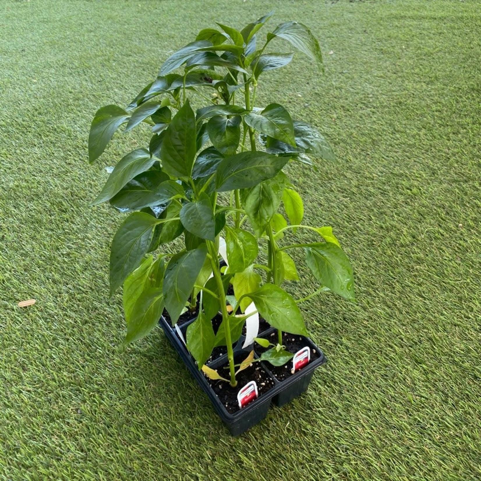 Plants Piments Mélangés (6)