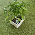 Plant Piments-Poivron Vert (6)