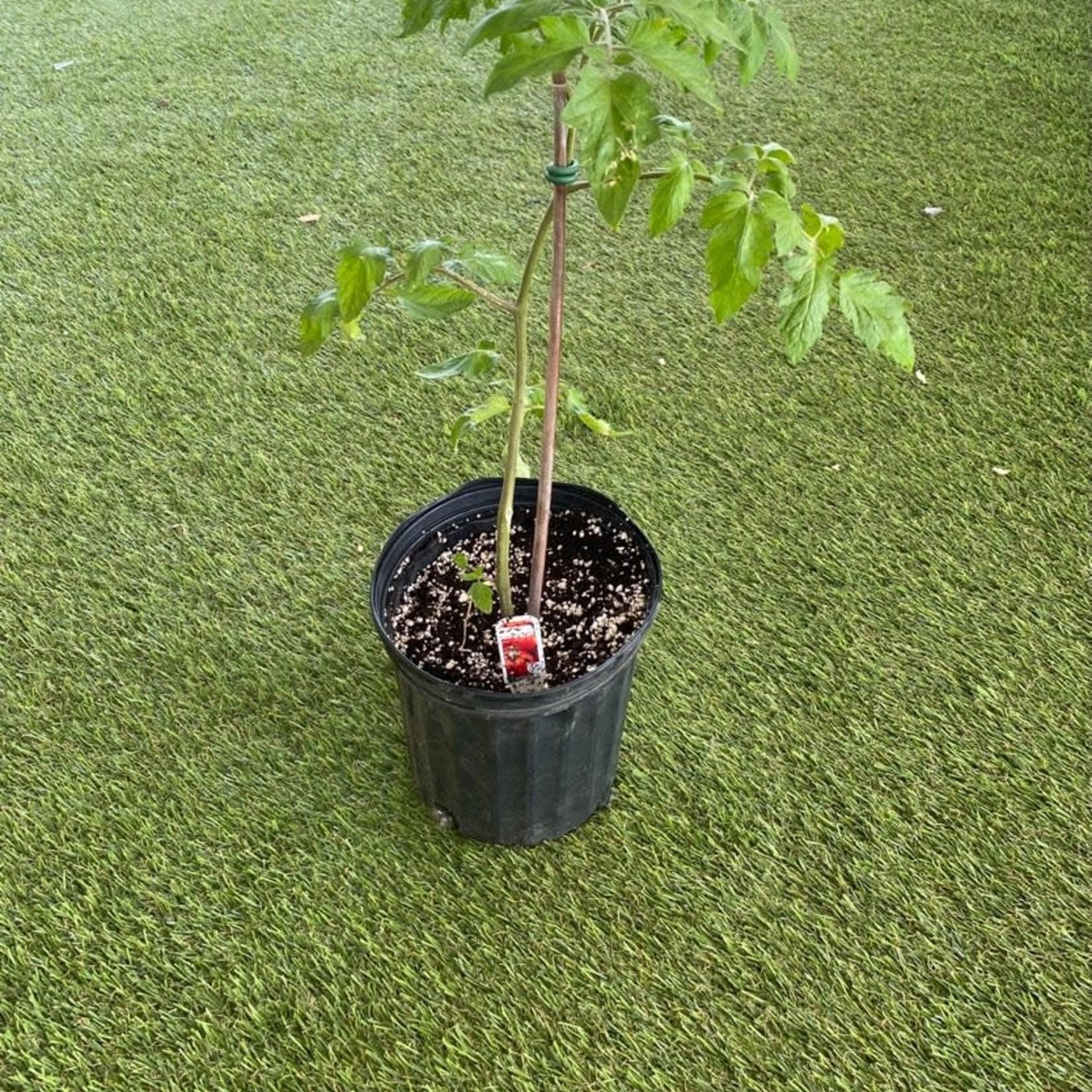Plant Tomates (Pot Noir)