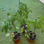 Plant Tomates (Pot Bruns)