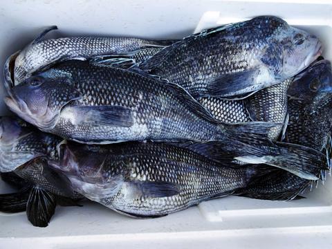 Sea Bass Season OPENS Oct. 8th, Tautog getting bigger in Bays