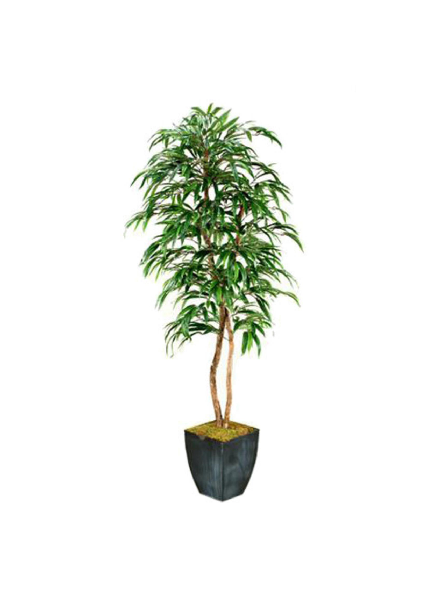 7' Weeping Ficus Tree