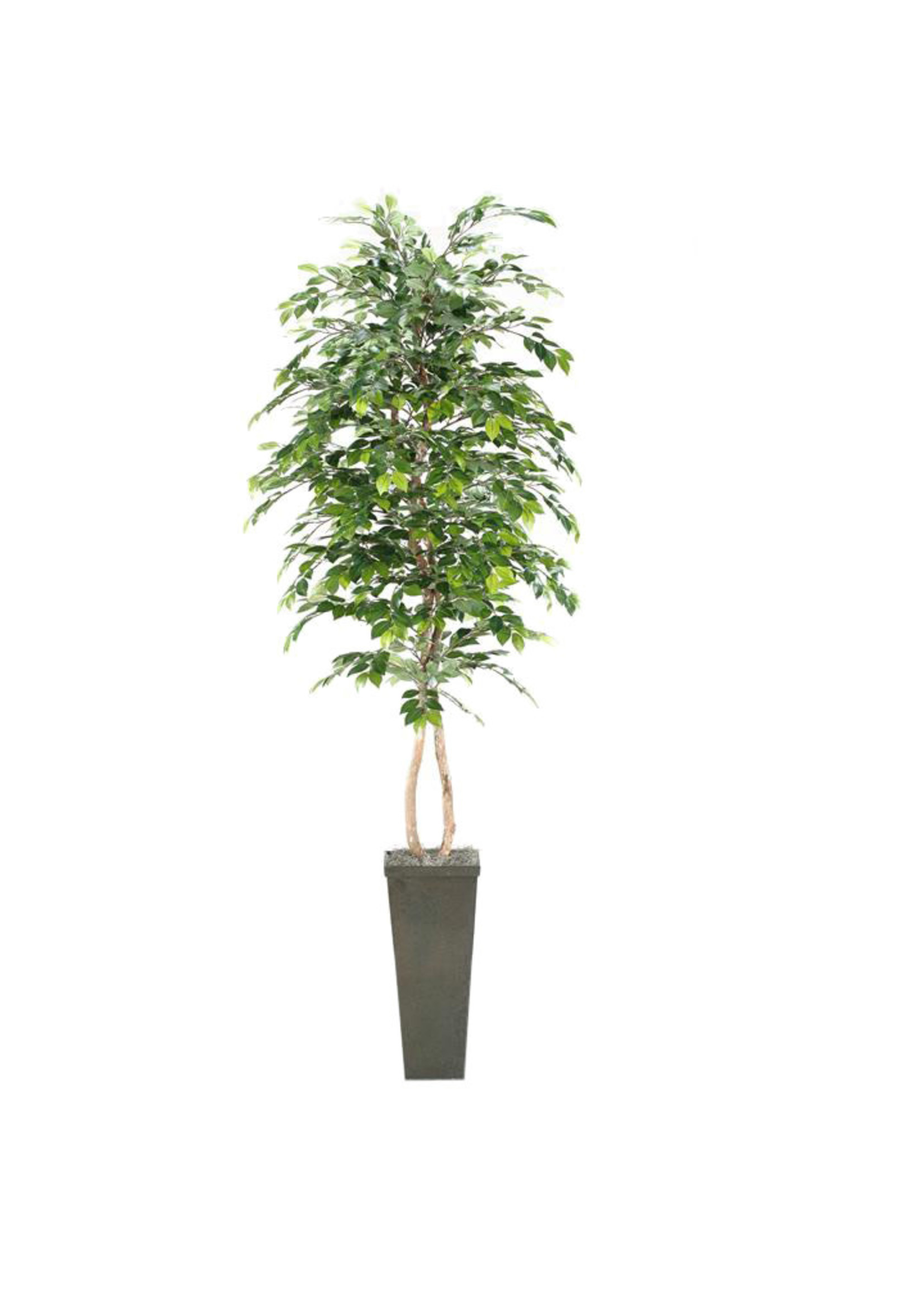8' SAKAKI TREE IN TALL SQUARE PLANTER