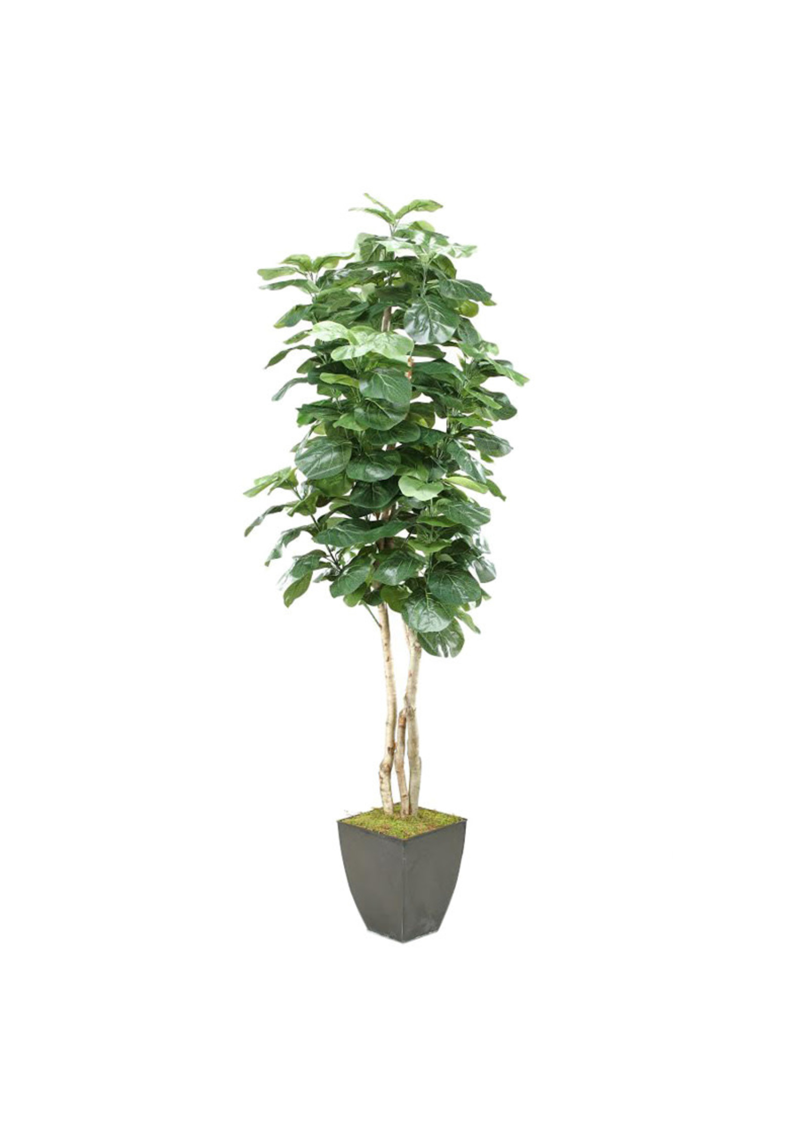 8' FIDDLE LEAF FIG IN SQUARE CONTAINER